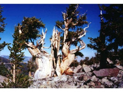 3. Methuselah e1349772770383 Top 10 Oldest Trees in the World
