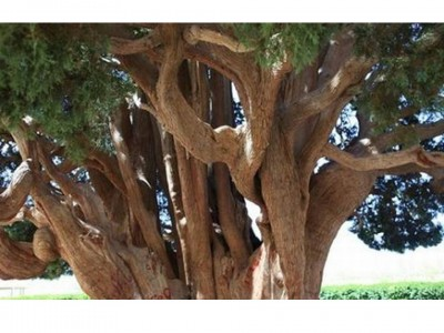 4. Sarv e Abarkooh e1349772786312 Top 10 Oldest Trees in the World