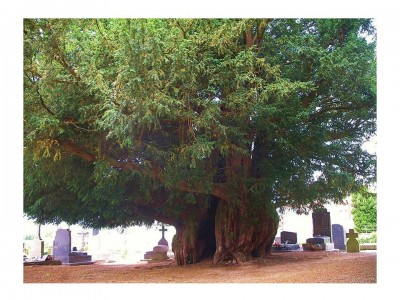 5. Llangernyw Yew e1349772812965 Top 10 Oldest Trees in the World