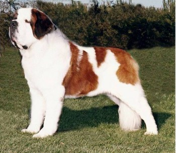 5. St. Bernard e1349249962697 Top 10 Biggest Dog Breeds in the World