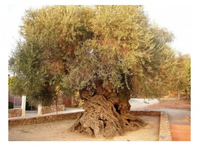 6. Elia Bouybon Olive Tree of Vouves e1349772825266 Top 10 Oldest Trees in the World