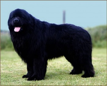 6. Newfoundland e1349249979909 Top 10 Biggest Dog Breeds in the World