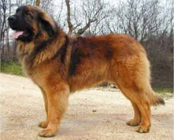 7. Leonberger e1349249990393 Top 10 Biggest Dog Breeds in the World