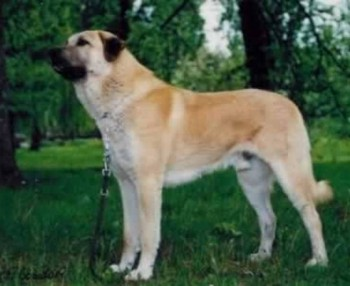 8. Anatolian Shepherd e1349249999612 Top 10 Biggest Dog Breeds in the World