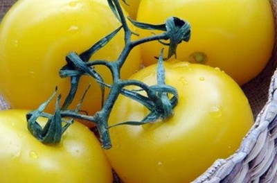 8. Original Color is Yellow e1349840864395 Top 10 Interesting Facts about Tomato