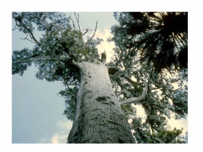 8. The Senator e1349772864964 Top 10 Oldest Trees in the World