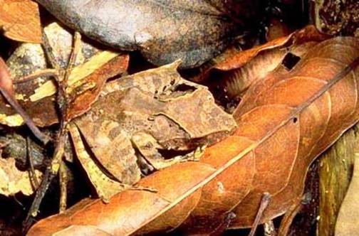 4. Dead Leaf Mantis Top 10 Animals that Perfectly Blend with the Environment