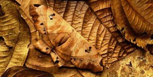 5. Dead Leaf Moth Top 10 Animals that Perfectly Blend with the Environment