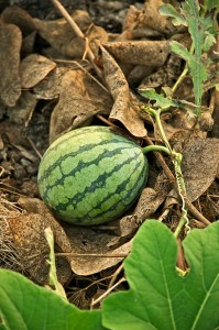 640px-Taiwan_2009_Tainan_City_Organic_Farm_Watermelon_FRD_7962