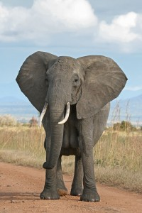 640px-African_Bush_Elephant