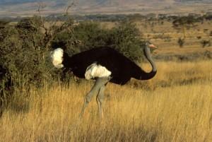 Somali_ostrich