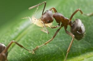 ant12antaphid 300x198 10 Creepy Ant Behaviors You Won't Believe