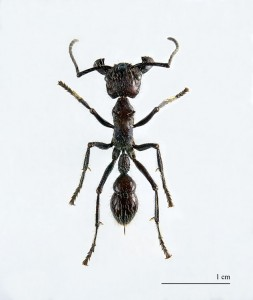 ant14640px Paraponera clavata MHNT 253x300 10 Creepy Ant Behaviors You Won't Believe