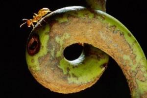 ant1carpenter ant pitcher plant 67728 990x742 300x201 10 Creepy Ant Behaviors You Won't Believe