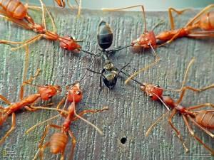ant2slaveants 300x225 10 Creepy Ant Behaviors You Won't Believe