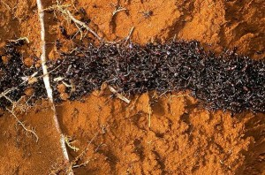 armyants 300x198 10 Creepy Ant Behaviors You Won't Believe