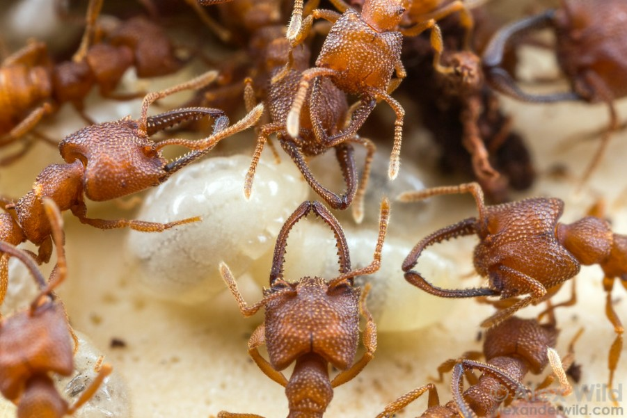 """Worker dracula ants tend to brood in a laboratory colony at the Unversity of Illinois, where the biomechanical properties of their unusual mandibles are being studied. Maliau Basin, Borneo."""