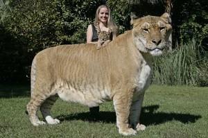 Aries-liger-cub-hercules-picture