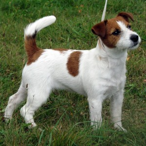 jack-russell-terrier-wallpapers-5