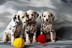 three-dalmatian-puppies-garry-gay
