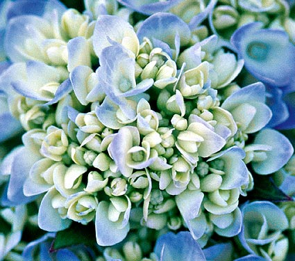 Hydrangea 10 Most Beautiful Flowers In The World